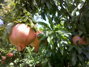 Pomegranates growing in Colonial Williamsburg, Virginia